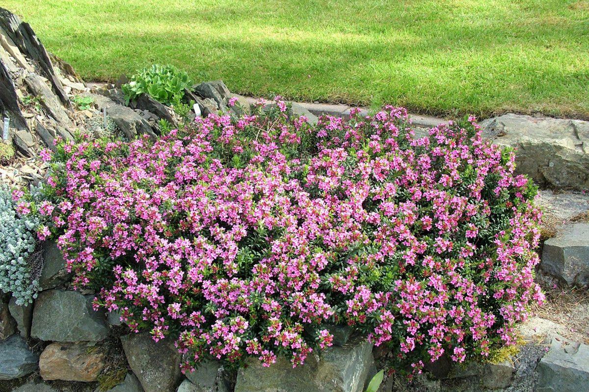 Daphne cneorum 'Eximia' 14 dwarf shrubs for the alpine garden - John Good