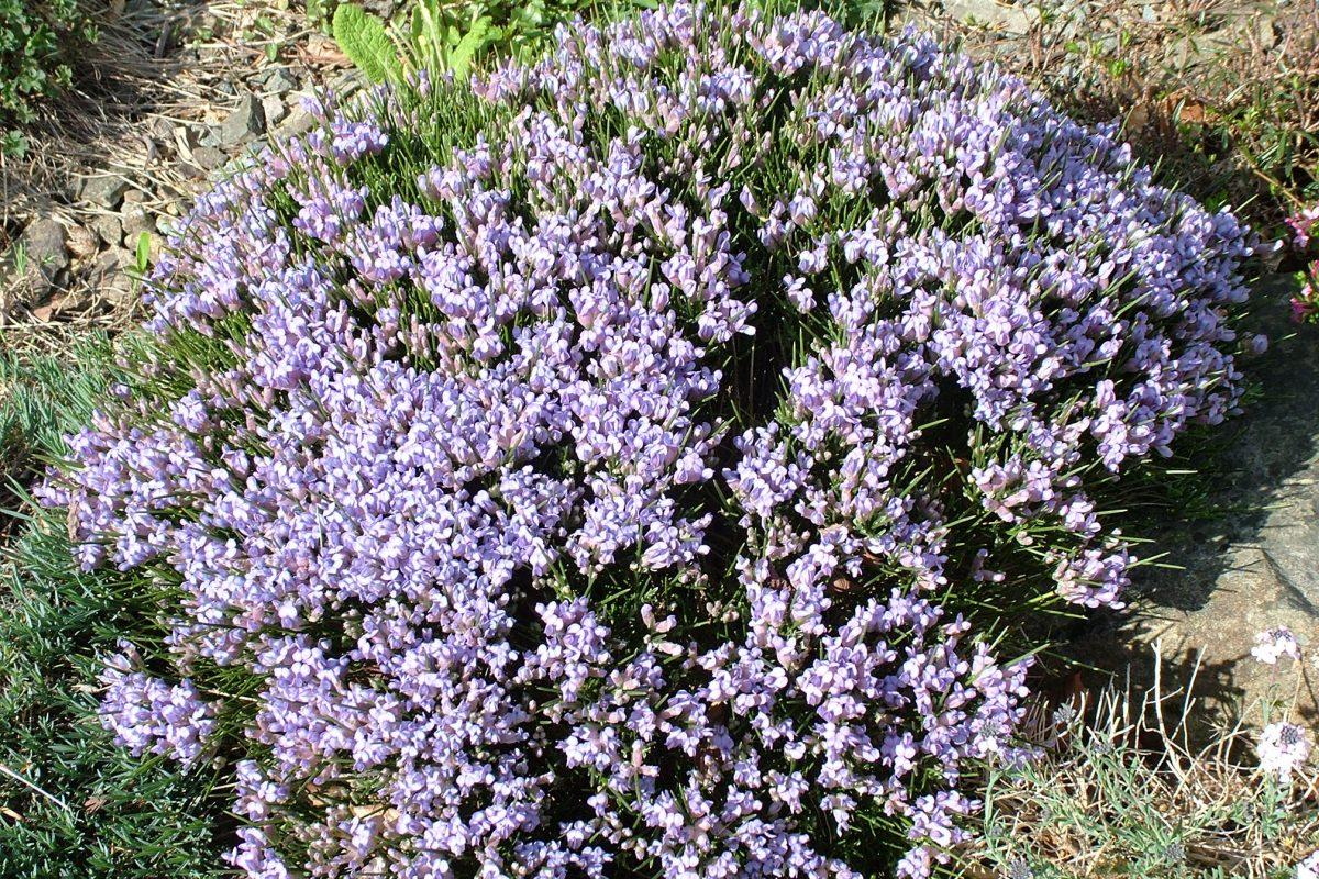 Erinacea anthyllis, 14 dwarf shrubs for the alpine garden - John Good