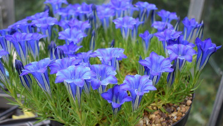 Gentiana Murrayfield alpine plants climate change