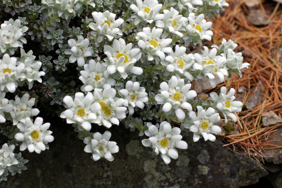 14 dwarf shrubs for the alpine garden Leucogenes grandiceps - John Good