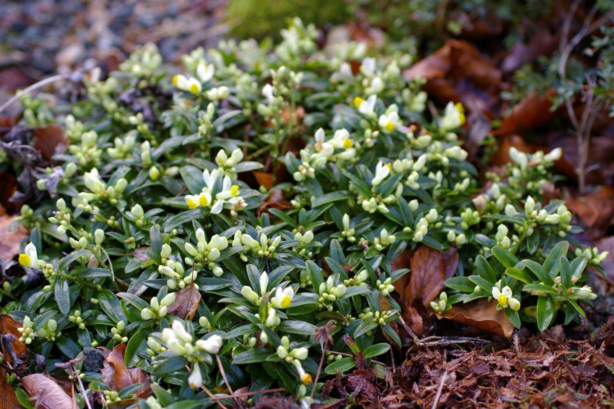 Polygala chamaebuxus dwarf shrubs alpine garden - John Good