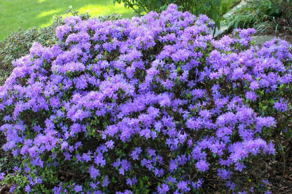 Rhododendron 'Augfast' 14 dwarf shrubs for the alpine garden - John Good