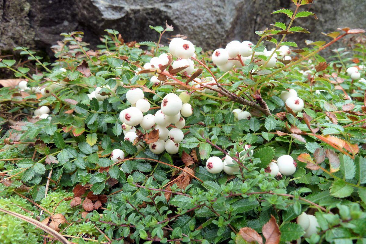 Sorbus poteriifolia - John Good