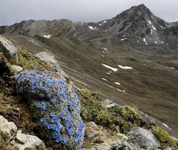 Chionocharis hookeri - Chris Gardner - Flora of the Silk Road Online gardening lecture