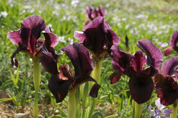 Iris petrana - Chris Gardner - Flora Silk Road - online gardening lecture