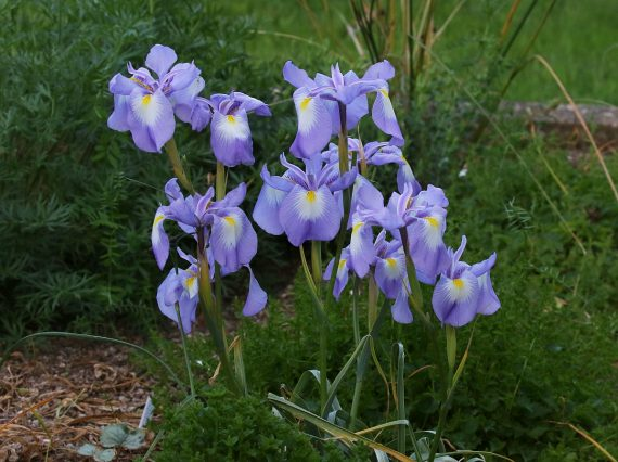 Jim Almond Iris cycloglossa bulbs for year round colour
