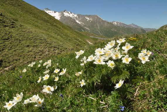 Christopher Grey-Wilson Pulsatilla alpina cottianae online plant talks