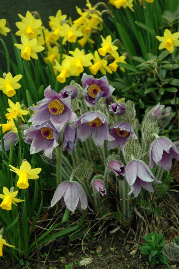 online plant lectures, Pulsatilla halleri slavica