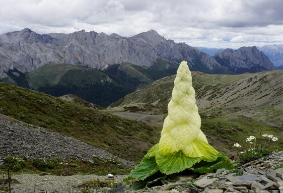 Rheum nobile - Chris Gardner - Online plant talks Flora of the Silk Road