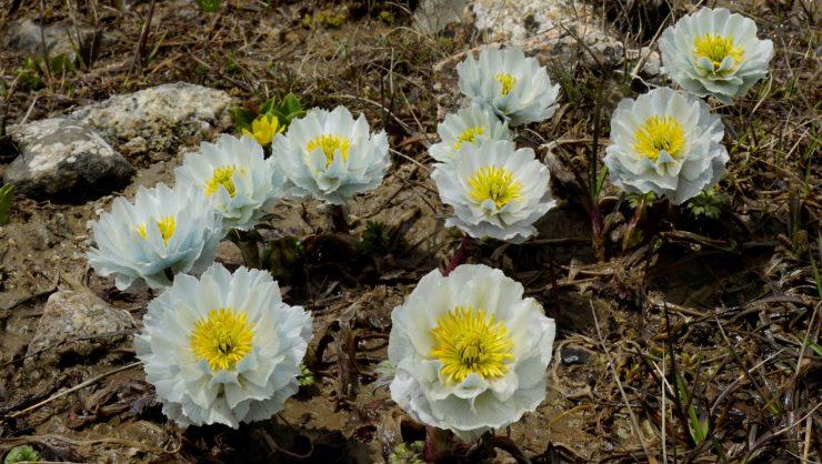 Trollius lilacinus - Chris Gardner - Flora of the silk road online plant lecture