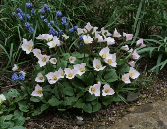 Jim Almond bulbs of year round colour online talk