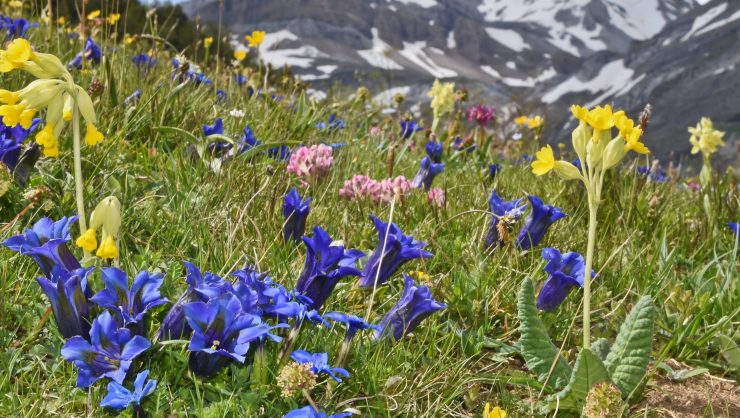 Gentiana acaulis & Primula veris Aisa Valley, Pyrenees Spain